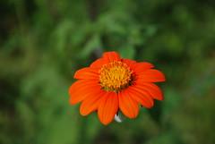 flower (Michell Fotografia) Tags: flower riodejaneiro natureza desfoque flores nomeujardim orange yellow brasil brazil nature foco flor green jardim macrofotografia