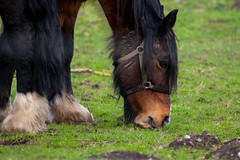Lunchtime (Mikon Walters) Tags: horse grazing eating animal animals creature living things grass mud dirt nikon d5600 sigma 150600mm super zoom lens photography outdoors hair close up ears contemporary