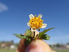 Bidens pilosa flower NC14 (Macleay Grass Man) Tags: asteraceae bidens pilosa cobblers pegs devils pitchforks farmers friends taxonomy:binomial=bidenspilosa flower head