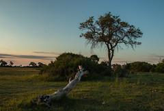Dawn in the Delta (selvagedavid38) Tags: dawn sunrise delta okavango africa tree log grass sky sun branch plains