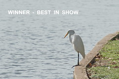 WINNER:  BEST IN SHOW  Great Egret:  Contemplation (Adventure George) Tags: acdseephotostudio bird birdsanctuary birdwatching bonnetcarrespillway citypark fall fauna gulfcoast gulfofmexico katrinaworkgroup lafrenierepark lakepontchartrain louisiana lowermississippibasin mississippiriver mississippiriverbasin naturalworld neworleans nikdond700 nolarecovery northamerica october orleansparish outdoor park photogeorge photoshoot riparianecosystem riverplain rivervalley rural southernunitedstates unitedstatesofamerica urbanpark us usa water waterbird metairie