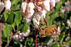 Draining a flower (TJ Gehling) Tags: insect hymenoptera bee apidae honeybee westernhoneybee apis apismellifera plant flower ericales ericaceae manzanita arctostaphylos elcerrito
