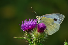 Großer Kohlweißling (Pieris brassicae) / cabbage butterfly (uwe125) Tags: insect kohlweisling cabbage butterfly blüte distel blossom nektar nectar