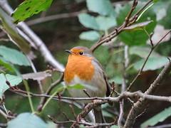 European robin (guyfogwill) Tags: 2018 autumn bird birds devon erithacusrubecula europeanrobin gbr guyfogwill november robin stover teigngrace unitedkingdom