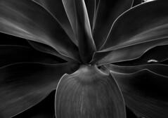 formas y apariencias (jssgarca) Tags: plants nature microcosm life vegetable lights sadows perspective bw plantas naturaleza luces sombras perspectiva