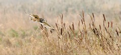 Shorty- (Mick Lowe) Tags: bird owl shorteared flight asio flammeus reeds wild