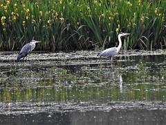 Hérons cendrés (chriscrst photo66) Tags: waterbird oiseau eau bird héron cendré adulte juvénile lac iris gironde nikoncoolpixp900