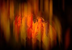AUTUMN LIGHT . (TOYOGRACOR) Tags: plantas aplusphoto color flickrdiamond bej canon explore flickr dof mygearandme mygearandmepremium mygearandmebronze mygearandmesilver godlovesyou desenfoque flickrflorescloseupmacros otoño rojo rojos mywinners sol follaje planta hoja brillante serenidad textura fotos autumn hojas red luz rayosdesol colorrojo transparencia españa spain acuarela contraluz macrofotografía cerezo agua gotasdeagua