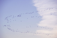 (amy20079) Tags: nikond5100 sky birds migration clouds newengland maine formation distant faraway teamwork blue flight flying above lines skytrails journey organized organize