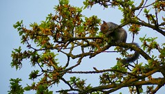 Cheeky Nut (Leigha Louisee) Tags: nature wildlife animal animals small naturalworld naturalplanet squirrel grey tree green blue sky