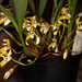 Maxillaria picta – Carl Wood