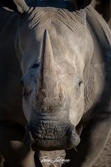 Southern White Rhino (ToddLahman) Tags: southernwhiterhino rhino beautiful female outdoors mammal sandiegozoosafaripark safaripark escondido eyelock portrait nikon nikond500 nikonphotography photooftheday photography photographer
