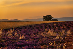 Happy New Year!!! (marypink) Tags: provenza provence francia plateaudevalensole lavanda lavander field campo fioritura summer estate tree sky cielo sunset tramonto nikond800 nikkor70200f28
