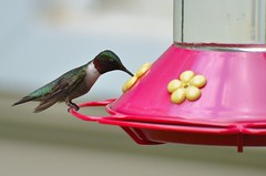 2018 05 20 153 Back country, WV (Mark Baker.) Tags: 2018 america baker braxton county mark may north us usa virginia wv west bird day humming hummingbird outdoor photo photograph picsmark ruby rubythroated rural spring states throated united wildlife