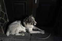 Sleepy (Giorgi Natsvlishvili) Tags: dog canine shepherd shepherddog sad sleepy drowsy animal animals georgia svaneti mestia mongrel canis canislupusfamiliaris canisfamiliaris