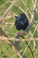 Indian Robin (harshithjv) Tags: bird birding small robin indianrobin black copsychus fulicatus passeriformes muscicapidae aves avian canon 80d tamron bigron g2
