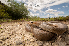 eastern brown snake (benstubbs13) Tags: eastern brown snake reptile venomous wildlife australia victoria