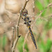 Slender baskettail, male (Epitheca costalis)