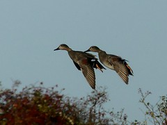 landing flaps down 11.11.18 (ericy202) Tags: gadwall ducks bush landing