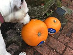 Pumpkins (SReed99342) Tags: london uk england pumpkins dog olga