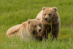 """""""Siblings"""" (Chad Dutson) Tags: nature wilderness wild forest bear bears brown grizzly grizzlies alaska pacific northwest chad dutson wildlife"""