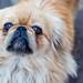 Dog breed Pekingese closeup