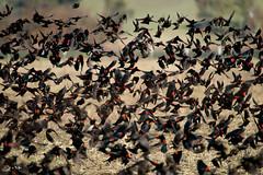 Tricolored blackbird (Agelaius tricolor) (Thy Photography) Tags: tricoloredblackbird wildlife animal nature outdoor backyard california bird sunrise sunset dawn dusk sunshine thyphotography endangeredspeciesact blackbird agelaiustricolor