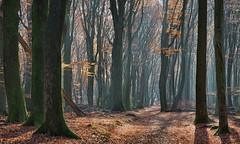 Dancing trees (Guido de Kleijn) Tags: speulderbos forest netherlands guidodekleijn nikon d500 nikond500 nikon1680f28 geulders veluwe bos
