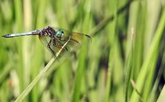 Dragonfly - Libellule (P9_DSCN9032-1PE-20180810) (Michel Sansfacon) Tags: dragonfly libellule nikoncoolpixp900 parcnationaldesîlesdeboucherville parcsquébec faune