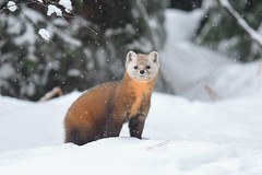 Pine Marten (Rob E Twoo) Tags: wildlife nature canada marten forest tree algonquin explore adventure snow winter ontario wilderness naturaleza