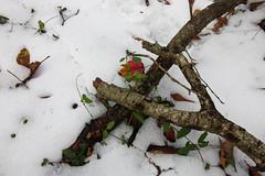 IMG_0034 Framed (oldimageshoppe) Tags: sticks leaves snow woods winter