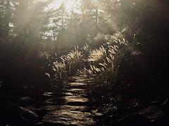 Autumn Path (K M V) Tags: light licht valo lumière luce ljus contrejour vastavalo vastavaloon gegenlicht motljus felsenweg path polku stig pfad grass heinä metsä skog forêt forest wald bosco sentiero lumen luz bosque sentier controluce contraluz backlight backlit