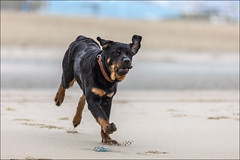 Dogs of Friends.... (Chris 1971) Tags: dog hond animal dier pet huisdier rottweiler scheveningen beach juvenile