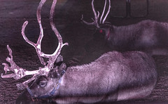 Two Reindeer at the LA Zoo Lights (SCSQ4) Tags: california lazoolights losangeles losangeleszoo night reindeer resting