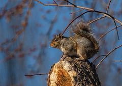 Squirrel (Lynn Tweedie) Tags: blue 7dmarkii missouri squirrel sigma150600mmf563dgoshsm tail canon eos tree ngc animal