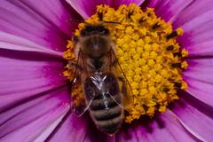 Honey Bee (betadecay2000) Tags: coesfeld bee kreiscoesfeld honey honeybee bees insekt insekten natur nature insect insects kleintier fluginsekt blüte flower foto fotos tier tiere animal animals animoux deutschland germany german deutsch europa europe duitsland niemcy