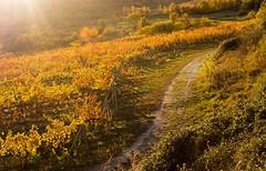 Jeseň vo vinohradoch II. | Krasňany | Bratislava | Slovakia (lofofor) Tags: jeseň autumn fall vinohrady bratislava ba rača krasňany slovensko slovakia sr svk sk vinič víno réva field pole vine vineyard sunses západslnka nature