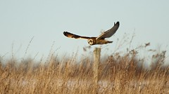 Short-eared owl (bearbear leggo) Tags: shortearedowl hunter photography karenleggo wildlife nature owl raptor gliding wings