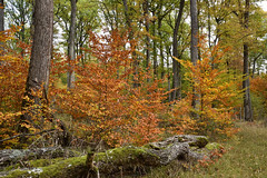 Aux jours où les feuilles jaunissent (Excalibur67) Tags: nikon d750 sigma globalvision art 24105f4dgoshsma arbres trees forest foréts automne autumn feuillage foliage paysage landscape nature bois grume