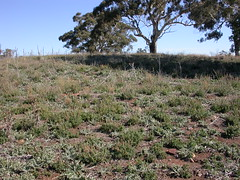 Horehound, Marrubium vulgare and varius thistles @ sheep camp south Mt Majura nature reserve