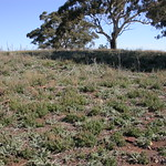 "Horehound, Marrubium vulgare and varius thistles @ sheep camp south Mt Majura nature reserve <a style=""margin-left:10px; font-size:0.8em;"" href=""http://www.flickr.com/photos/61627737@N03/45688669622/"" target=""_blank"">@flickr</a>"