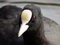 Coot Up Close (doranstacey) Tags: nature wildlife birds waterbirds coot ulley countrypark reservoir ponds lakes closeup portrait tamron 150600mm nikon d5300