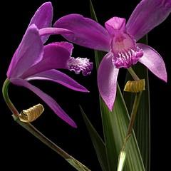 Bletillas (Pixel Fusion) Tags: nature nikon flora flower aperture macro d600 photoshop