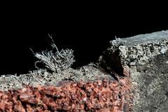 Closeup of Asbestos Fibers at Edge of Exterior Siding Shingle (Asbestorama) Tags: asbestos chrysotile fibers fibrous cement shingle siding cladding macro safety ih acm survey inspection assessment amiante amianto asbest