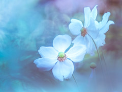 Japanese anemone (Tomo M) Tags: outdoor bokeh nature garden white autumn 横浜イングリッシュガーデン helios blue