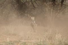 cheetah (Olivier DARMON) Tags: cheetah guepards chasse hunting samburu kenya