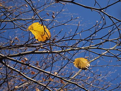 Two Old Leaves and Next Years Buds (cycle.nut66) Tags: beech tree leaves buds branches twigs bokeh sky blue gold brown olympus epl1 evolt mzuiko micro four thirds