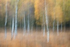 Autumn Colours - 2 -  ICM (aveyardphotography) Tags: icm intentional camera movement autumn fall blur trees silver birch common moorland nature grass colour color canon andy aveyard strensall north yorkshire