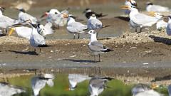 Laughing Gull (Mario Arana G) Tags: 7d ave bird birding cr canon canon7d costarica florayfauna laughinggull marioarana nature photography puntarenas wildlife