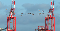 Oystercatchers, Liverpool Docks (Philip Brookes) Tags: oystercatcher bird fly flight flying docks dockland liverpool newbrighton merseyside uk wirral britain flock seaside coast crane